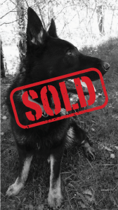 German Shepherd Dog Named Hero trained as a personal protection dog and sold