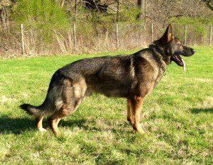 Vince Von Der Wilmothaus a German Shepherd Stud Dog available for breeding