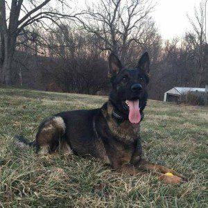 Rufus Vom Rubin Stud German Shepherd Dog